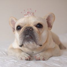 French Bulldog Princess