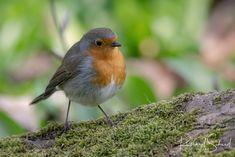 Robin - Dieses kleine Rotkehlchen war heute Morgen mein Model und wirklich sehr Interessiert. This little robin was my model this morning and really interested.