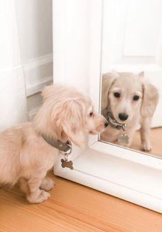 Weenie Dogs, Dachshund Puppies, Pet Dogs, Dapple Dachshund, Long Haired Dachshund, Cute Baby Dogs, Cute Dogs And Puppies, Cutest Dogs, Cute Little Animals