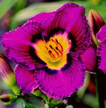 R Imperial Mandate Daylily