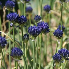 Allium litvinovii Allium, Garden, Plants, Lawn And Garden, Gardens, Plant, Outdoor, Home Landscaping, Tuin