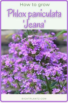 Phlox paniculata 'Jeana' Common Name: Garden Phlox Plant Story: Outstanding mildew resistance with varying shades of sweetly scented, lavender-pink flowers, vibrant midsummer through early autumn. Foliage remains clean green while flower clusters create a tiered effect along upright, multi-stemmed branches. Expect a flurry of pollinator activity!  Type: Perennial Herbaceous Bloom Season: Summer Flower Color: Purple Planting Zone: 4-8  Click to learn more about Phlox paniculata 'Jeana' Summer Flowers, Colorful Flowers, Pink Flowers, Phlox Plant, Early Autumn, Different Plants, Yard Design, Green Cleaning, Lawn And Garden