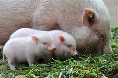The mom pig is not so cute but the babies I want!