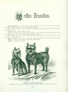 ANTIQUE Dog Breed Article w Pics 1904 Brussels Griffon | eBay