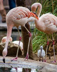 Another new addition to the reid park family. Tweedle the baby flamingo is about two weeks old in this photo.