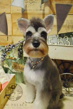 Ranked as one of the most popular dog breeds in the world, the Miniature Schnauzer is a cute little square faced furry coat. It is among the top twenty fav Schnauzers, Miniature Schnauzer Puppies, Schnauzer Puppy, Schnauzer Grooming, Cat Grooming, Silly Dogs, Cute Dogs, Pet Shop, Dog Grooming Styles