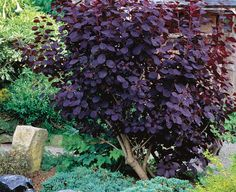 • Name: Purple smoke bushes (Cotinus coggygria cvs.) • Zones: 5 to 9 • Conditions: Full sun to partial shade; average soil • Seasonal bonus: The new foliage glows as it emerges and ripens into a deep burgundy.