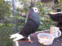 Onyx. Super roller pigeon