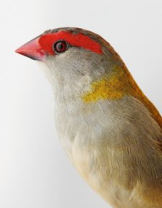 Ellery the Red-browed finch, from Bird Love by Leila Jeffreys, published by Abrams (£25.00)