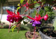 Herbácea escandente, pertence à família Onagraceae, perene, de 1-2 metros de altura, de ramagem pendente e muito ornamental. Folhas grandes ou pequenas .....