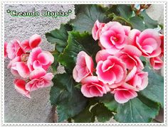 Begonia rosada