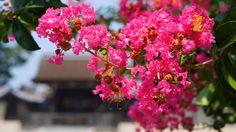 京都御苑 建礼門 さるすべり Japan,Kyoto Gyoen National Garden,crape myrtle