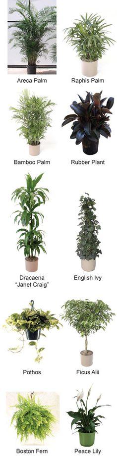 Hieronder worden 10 planten behandeld die de lucht zuiveren in je huis. De selectie is gebaseerd op hoe makkelijk ze groeien en te onderhouden zijn, hoe goed ze tegen pesticiden kunnen en hun efficiëntie in het opruimen van chemische dampen en transpiratiegraad. Areca Palm Staat ook bekend onder de naam goud palm of vlinderpalm. De …