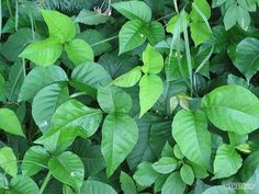 Homemade Poison Ivy and Weed Killer That Really Works- 3 cups vinegar 1/2 cup salt 1 tablespoon liquid detergent or soap(I use Dawn) for stick-to-itiveness. Mix vinegar and salt until the salt is completely dissolved. Stir in liquid detergent, and pour into a sprayer. Spray onto the green growing leaves of the plants. Wait a week, then repeat on any survivors. Best time to apply: during a dry spell. Do not spray on plants you want to keep.