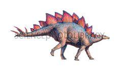 Google Image Result for http://www.sciencephoto.com/image/172812/350wm/E4460507-Stegosaurus_dinosaur-SPL.jpg