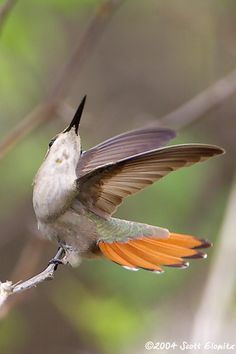 Ruby Topaz Hummingbird female (Chrysolampis mosquitus)