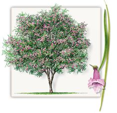 Desert Willow Trees are not the same as other trees found at other Dallas area tree farms and are grown local at our Desert Willow Tree Farm.