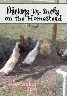 Chickens or Ducks?  Which poultry is best for a small homestead?  Find out pros and cons of each!