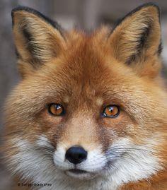 theperfectworldwelcome: llbwwb: (via 500px / Red fox by sergei gladyshev) Beautiful !!! O/