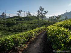 Tea plantation Ella Sri Lanka.