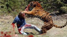 Sư tử nổi giận tấn công con người - sư tử đại chiến - Lion vs human