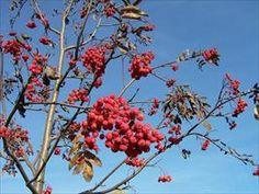 Jeřáb je krásný a nenáročný strom, jehož plody jsou dnes už téměř zapomenuty. Jeřabin není třeba se obávat a první mrazíky jsou ideální k jeho sklizni a mnohostrannému využití. Ozvláštní kuchyni a pomohou v domácí lékárně.
