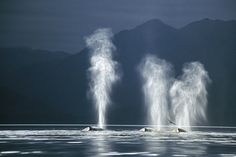 In pictures: Humpback whales feeding in Alaska