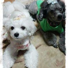 滅多と無いツーショット🙌✨ 小夏ちゃんは犬が苦手…😢 いつまでたっても ヴーヴー言ってます  この時だけは奇跡🙌💕 , #トイプードル #マルチーズ #多頭飼い #1才と11才 #ツーショット #愛犬 #Instapet #Instadog #toypoodle #maltese #dogs