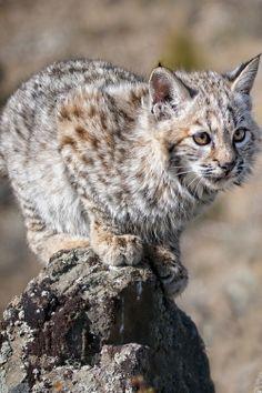 *Bobcat Kitten (byAnita Erdmann)