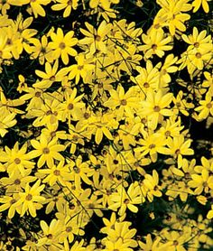 "Coreopsis Moonbeam = Superb choice for the front of the border and containers. Creamy yellow flowers take the heat and bloom faithfully all summer. 18"" wide plants are tolerant to most soils. Looks great with most annuals and perennials. Attracts Butterflies."