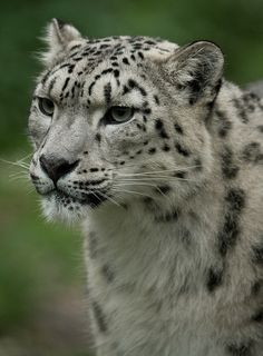 Snow Leopard isn't it beautiful i adopted one it was a present for but I don't really get it I did it on wwf world wildlife foundation