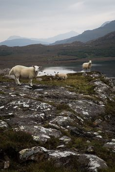 The Wester Ross Coastal Trail, Scotland. #sheep #scotland #travel