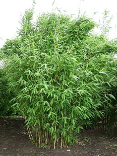 fargesia murielae bambu finns hos Zeta. Tänker mig bredvid altanen som avgränsare mot insyn från vägen. Vintergrön!