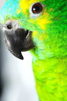 beauitful parrots being decimated by poachers and importers.