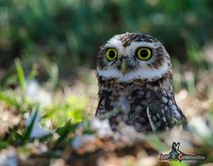 featheroftheowl:  Burrowing Owl by Jeff.Constantino