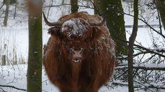 Buffel Amsterdamse bos