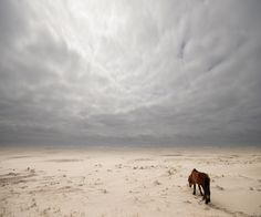 lone horse treks on white sand, Sable Island, Atlantic Canada. ALL the Horses on the island are government protected and so is the island from any human developments.