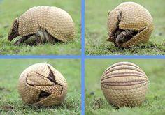 El Tatù Carreta es el mayor armadillo viviente y la especie se encuentra en vías de extinción.   Argentina Live