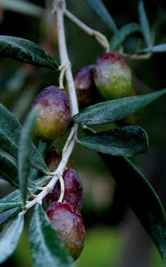 olives off the tree! Exotic Fruit, Tropical Fruits, Fruit And Veg, Fruits And Vegetables, Prune, Olive Gardens, Olive Tree, Fruit Trees, Green And Purple