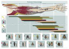 Forensic entomology infographic (Julia Rocher)
