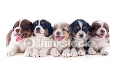 Search for Stock Photos of Group Of Puppies on Thinkstock