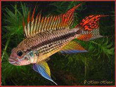 Apistogramma cacatuoides Cichlid [Aquarium Fish]