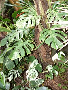 New Introduction Monstera Deliciosa Albo Variegata #MON-DAV