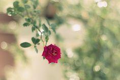 Flickr Search: rose | Flickr - Photo Sharing!