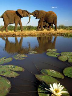 Elephants, Greating Each Other, Victoria Falls, Zimbabwe by Roger De La Harpe.  !!!