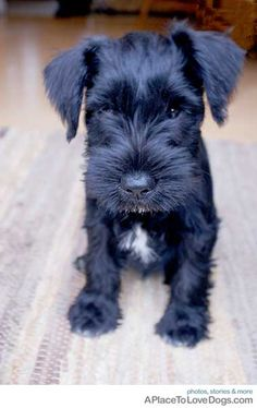 Black Miniature Schnauzer.. My baby dog!