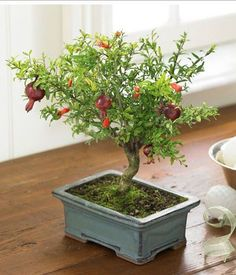 Mini Pomegranate Fruit Tree