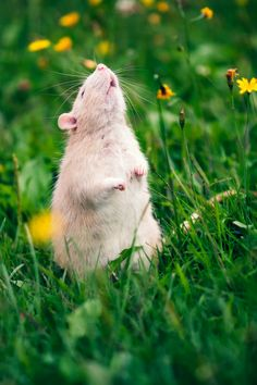 """Friday Haiku: O, Rats! September 27, 2013 By Brinke  Theo The Ratso Sniffs gently in the still air Thinks he smells dinner?  9785132075_74d33cb6e8_h """"I found this picture (by Flickrer Deanna W.) and I just had to share it. I don't think rats get enough love, and that's why I run this page, (shameless plug I know) so that people can see that rats are just as cute and loving as any other pet!"""" -Alice B."""