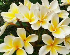 Hawaiian Lei Flower, Flower Lei, Plumeria Tree, Dwarf Plants, Replant, Pink Petals, Tropical Plants, Tropical Garden, Live Plants