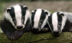 Badgers - too cute to cull.